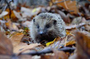 England's Hedgehogs